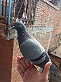 Pigeon perched on hand 1.jpg