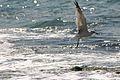 PikiWiki Israel 14726 Seagull.jpg