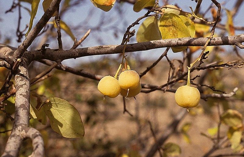 פירות של לִבְנֵה רפואי