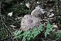 Pilzfruchtkörper im Wald südwestlich des Parkplatzes Irenkreuz, Landkreis Rhön-Grabfeld.jpg