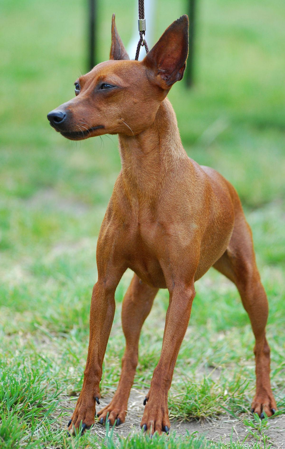 Mini Doberman Dogs For Sale