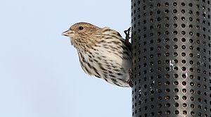 Pine Siskin female on a bird feeder, Ontario, ...