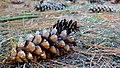 Pine cones - panoramio (2).jpg