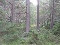 Pinewoods, Rothiemurchus - geograph.org.uk - 961019.jpg