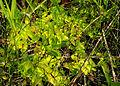 Pinguicula vulgaris subsp. bicolor - folia 02.jpg