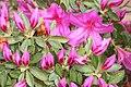 Pink Azalea Blossoms (48838821248).jpg