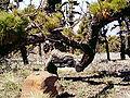 Pinus canariensis (Roque de Los Muchachos) 04 ies.jpg