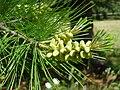 Pinus lambertiana pollencones.jpg