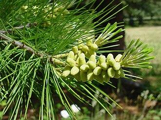 Pinus lambertiana - Image: Pinus lambertiana pollencones