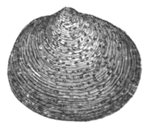 black and white drawing of outer surface of one valve of a clam