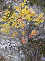 Pistacea terebinthus habitus 2009November1 SierraMadrona.jpg