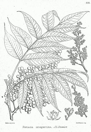 Pistacia integerrima - Image: Pistacia khinjuk Bra 22
