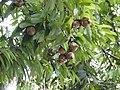 Plant Mesua ferrea fruits DSCN8774 04.jpg