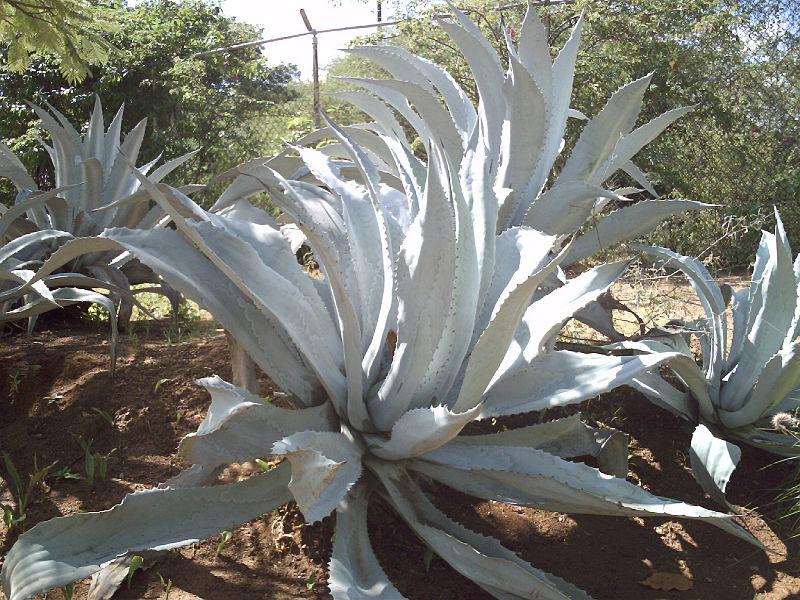 File:Planta de Espinas.JPG