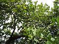 Planta del Limón.JPG