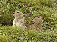 Plateau pika of the Tibetan Plateau.jpg
