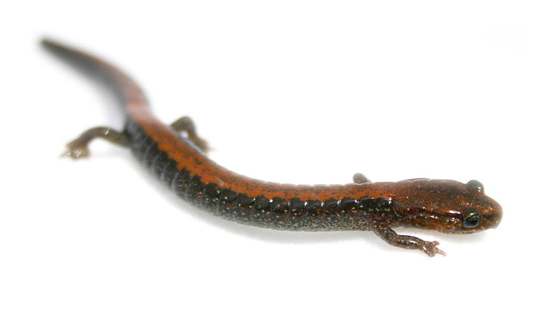 File:Plethodon cinereus1.jpg