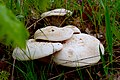 Pleurotus eryngii - Doğal Ortamında Çaşır Mantarı.jpg
