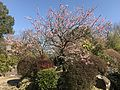 Plum tree in Ishibashi Cultural Center.jpg