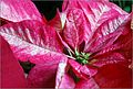 Poinsetia blanca y roja (5278105182).jpg