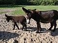 Poitou-Esel im Tierpark Arche Warder (1).jpg
