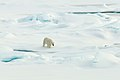 Polar Bear (4371011380).jpg