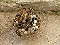 Polistes gallicus nest Levico 02.jpg