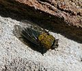 Pollenia sp. Calliphoridae. Cluster-fly - Flickr - gailhampshire (2).jpg
