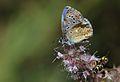 Polyommatus bellargus (Male) - Çokgözlü Gökmavisi.jpg