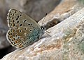 Polyommatus bellargus 02.jpg