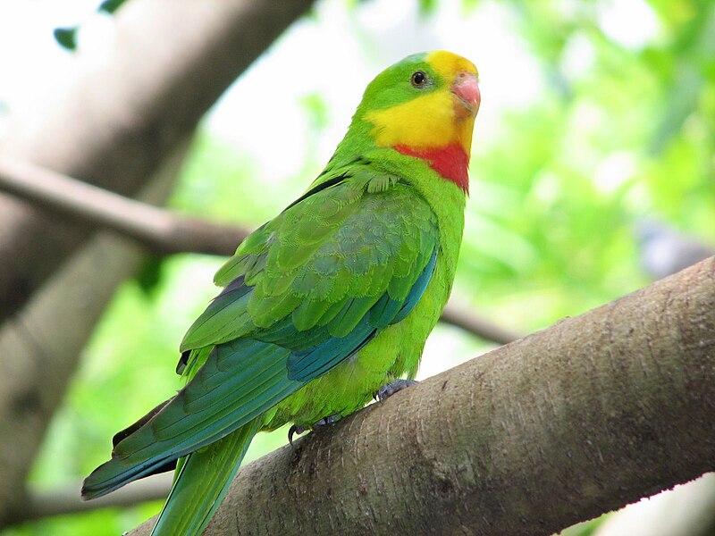 File:Polytelis swainsonii -Flying High Bird Habitat -Australia -male-8a.jpg