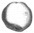 Pomme de terre de Zélande Vilmorin-Andrieux 1883.png