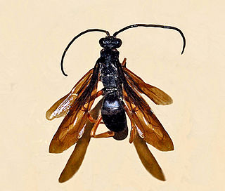<i>Cyphononyx</i> genus of insects