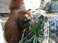 Pongo pygmaeus abeli zoo.JPG
