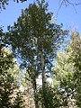 Populus tremuloides-8-27-04.jpg