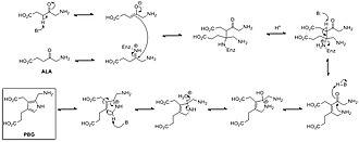 Pyrrole - Mechanism of biosynthesis of porphobilinogen