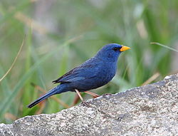 Porphyrospiza caerulescens - Blue Finch (male).JPG