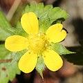 Potentilla hebiichigo (flower s2).jpg