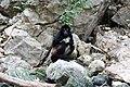 Primates - Ateles geoffroyi - 3.jpg