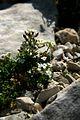 Pritzelago alpina - Velika Zelenica.jpg