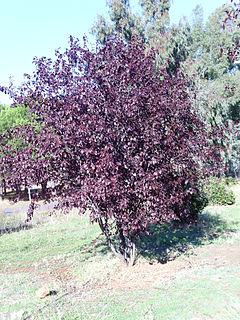 Śliwa wiśniowa: zdjęcie