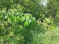 Prunus mahaleb sl18.jpg