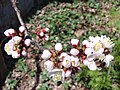 Prunus mandshurica with bee 2.jpg