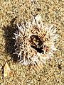 Psammechinus miliaris 125201806.jpg
