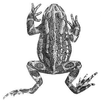 Pseudepidalea latastii - Image: Pseudepidalea latastii