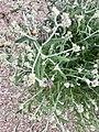 Pseudognaphalium macounii iNat-10603715.jpg