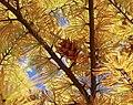 Pseudolarix amabilis in fall.jpg