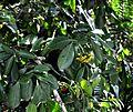Psychotria capensis, loof en vrugte, b, Laeveld NBT.jpg