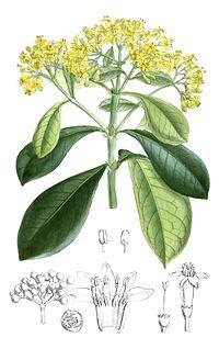 Psychotria capensis-cropped