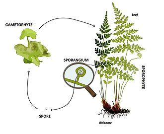 Glossary of plant morphology - Image: Pteridophyte lifecycle
